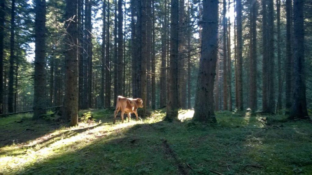 Krava v planini